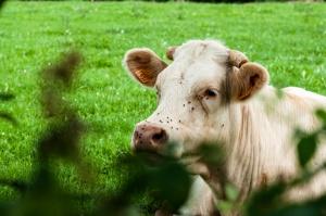 Jak żyją francuscy producenci mleka?