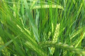 Odmiany zbóż jarych - Poznańska Hodowla Roślin