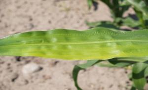Fot. 2 Objawy niedoboru cynku na liściach kukurydzy