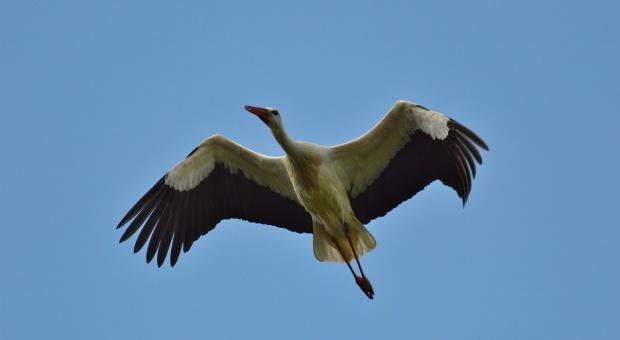 Ornitolodzy: Trudno wskazać przyczynę wczesnego odlotu bocianów