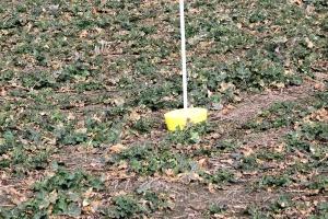 Są sygnały o pierwszych chowaczach na polach rzepaku