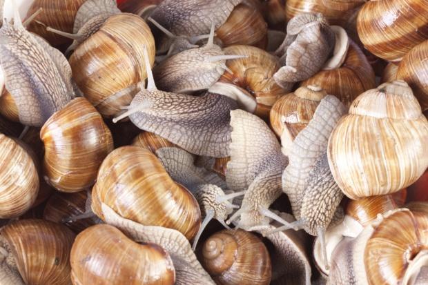 Lubuskie: Zbiór ślimaków winniczka ograniczony do 150 ton