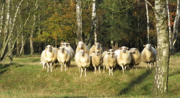 UE: Trwa tendencja spadkowa cen owiec