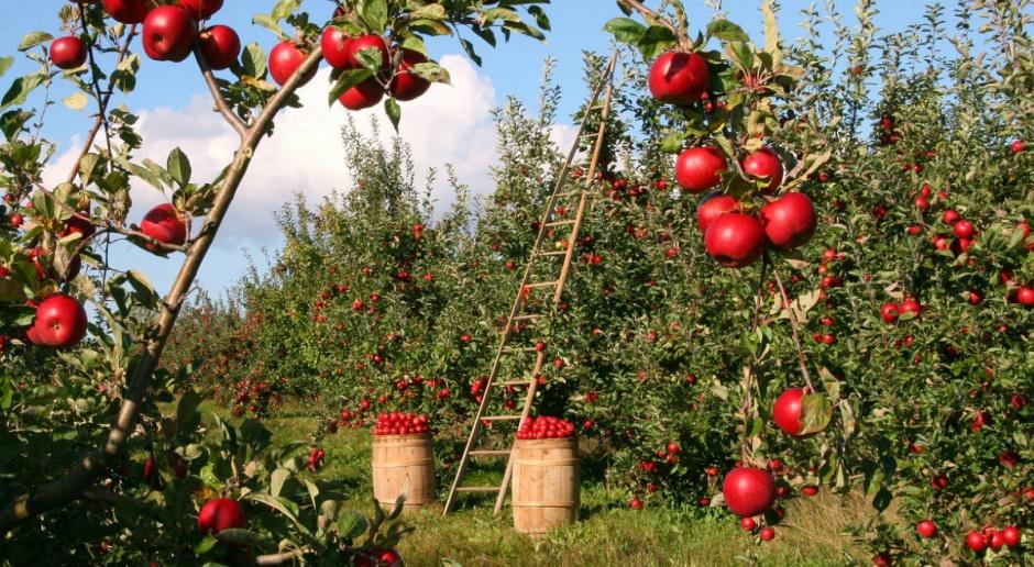 Producenci jabłek odczuwają zmiany klimatyczne