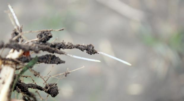 Stan pszenicy ozimej z siewów opóźnionych