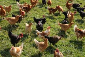 Grypa ptaków testuje odporność polskiej branży drobiarskiej