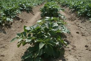 Chiny: Ziemniaki będą czwartym podstawowym uprawianym gatunkiem
