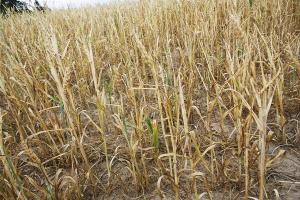 Najczęstsze błędy w uprawie zbóż jarych