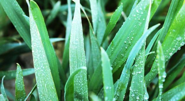 Stosowanie mieszanin w uprawie zbóż