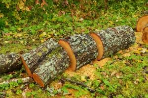Wielkopolscy leśnicy: Wycinka drzew w czaplińcu - przed powrotem ptaków