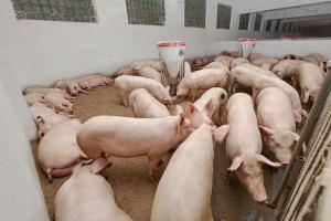 ARR: Eksport wieprzowiny w I wzrósł rdr o 17 proc.
