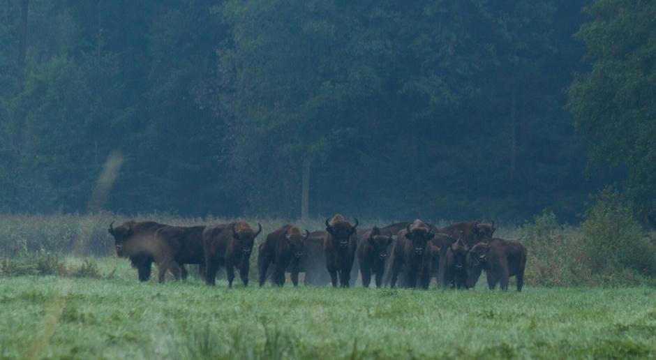 Leśnicy planują utworzenie stada żubrów w Puszczy Augustowskiej