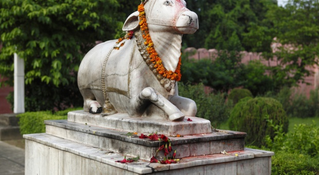 W indyjskim stanie Gudżarat za ubój krów - dożywocie