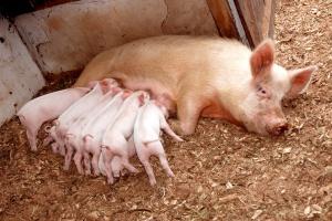 Chiny: W tym roku spadnie pogłowie świń