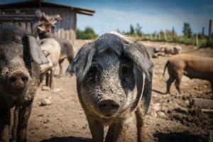 USA: Wzrost pogłowia świń o cztery procent