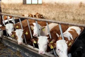 Spadkowa tendencja cen bydła