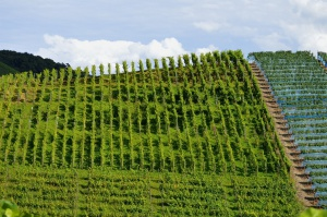 UE: W 2015 r. powierzchnia winnic wynosiła 3,2 mln ha