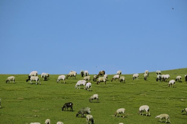 Francja: Coraz mniej owiec i kóz