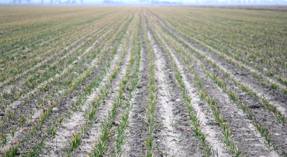 Instytut: Straty zimowe w uprawach zbóż ozimych i rzepaku są niewielkie