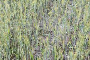 MRiRW: Będzie jednolity protokół do szacowania strat w rolnictwie