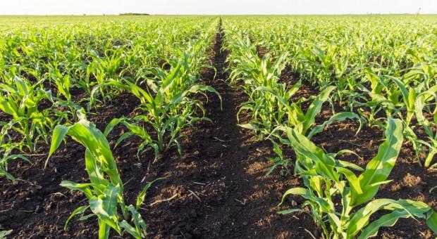 Kukurydza nie lubi konkurencji