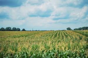 Plantacja kukurydzy; Fot PROCAM