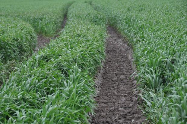 Dokarmianie zbóż ozimych mikroskładnikami