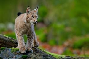 Przybywa dzikiej zwierzyny w lasach Podkarpacia