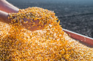 Ponowny wzrost ceny kukurydzy na MATIF