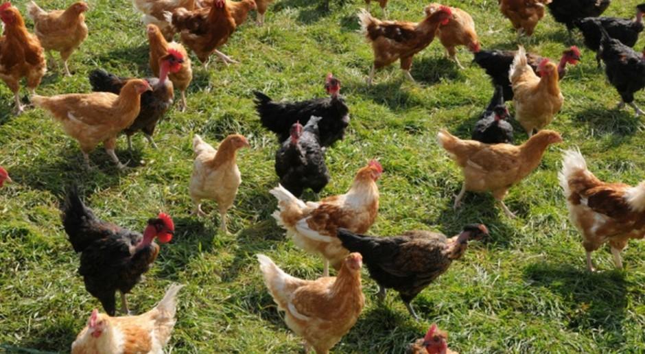 Nowe decyzje dotyczące ognisk ptasiej grypy