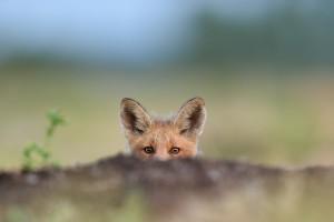 Śląskie: Lisy są szczepione przeciw wściekliźnie