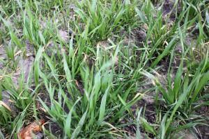 Stosowanie herbicydów przed przymrozkami – efekty widać na polach