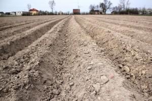 Odchwaszczanie ziemniaka przed wschodami