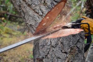 Senat i rząd krytycznie o nowelizacji zasad wycinki drzew