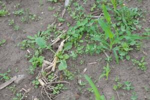 Wiele plantacji kukurydzy to monokultury. Ten typ uprawy pozwala przewidzieć zachwaszczenie