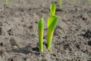 Nie opóźniać dłużej siewów kukurydzy