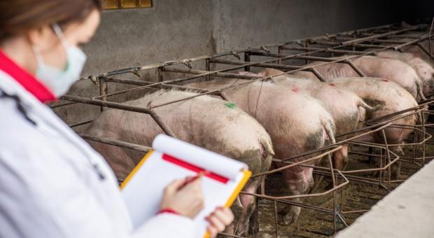 Braki kadrowe w Inspekcji Weterynaryjnej zagrażają eksportowi wieprzowiny?