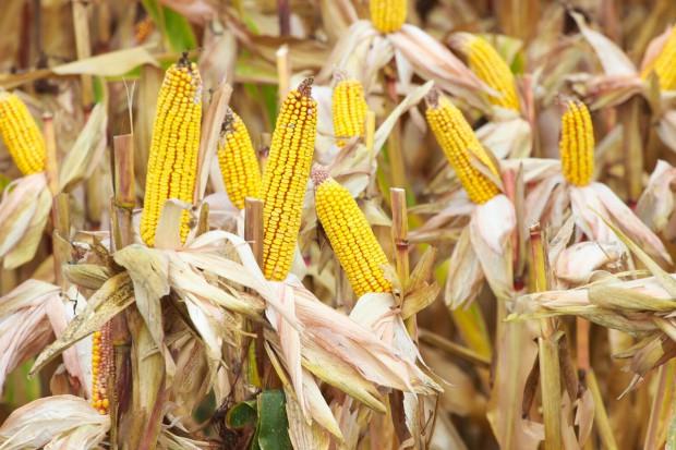 Resort środowiska stanowczo przeciwny GMO w Polsce