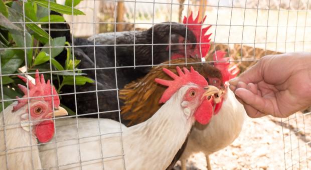 Kanada: Po ziołach w przydomowym ogródku czas na kurnik