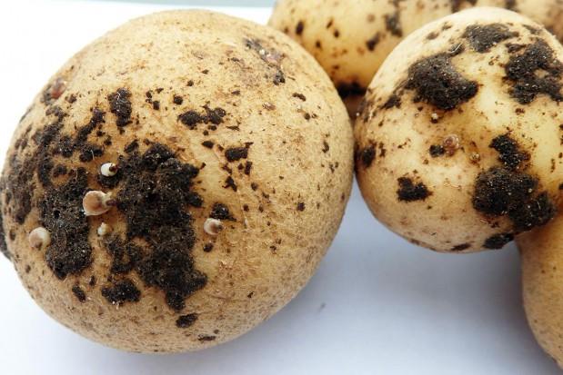 Wpływ zaprawiania bulw na wschody i zdrowotność ziemniaka