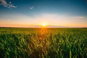 Spadki cen zbóż i oleistych