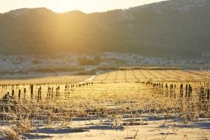 Mrozy w Bordeaux - właściciele winnic stracili połowę zbiorów
