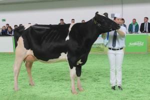 Czempion w kategorii krowy w I laktacji rasy polskiej holsztyńsko-fryzyjskiej odmiany czarno – białej