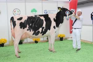 Czempion w kategorii krowy w II laktacji rasy polskiej holsztyńsko-fryzyjskiej odmiany czarno – białej