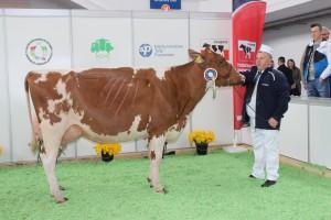 Czempion w kategorii krowy w II i dalszej laktacji rasy polskiej holsztyńsko-fryzyjskiej odmiany czerwono – białej