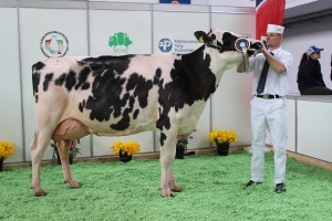 Czempion w kategorii krowy w III i dalszej laktacji rasy polskiej holsztyńsko-fryzyjskiej odmiany czarno – białej