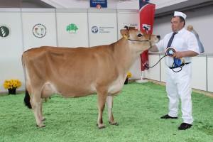 Czempion w kategorii krowy rasy jersey