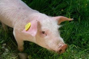 Stanowisko KZP-PTCh w sprawie kar za nieterminowe zgłaszanie zmian stanu zwierząt