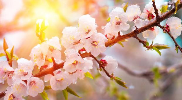 Nadchodzą przymrozki: Sadownicy chronią jabłonie i grusze