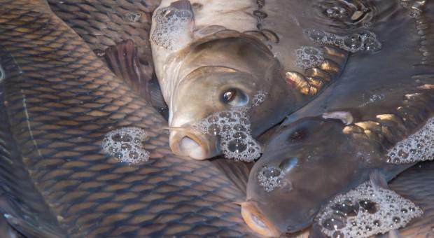 Ekolodzy ostrzegają: Standardy ochrony karpia mogą zostać obniżone